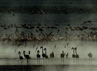 Flamingos and Sandpipers at Dawn