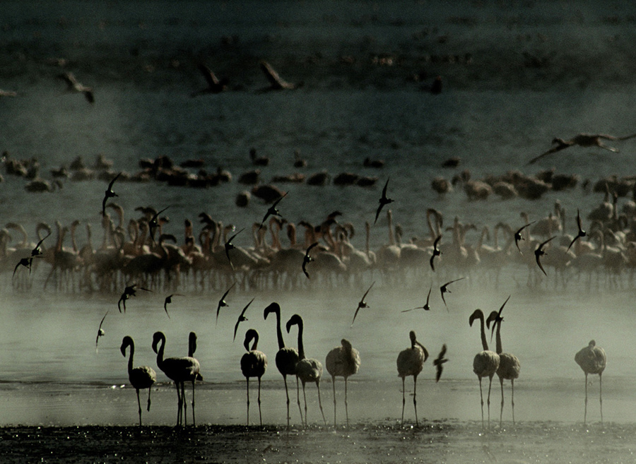 Flamingos and Sandpipers at Dawn