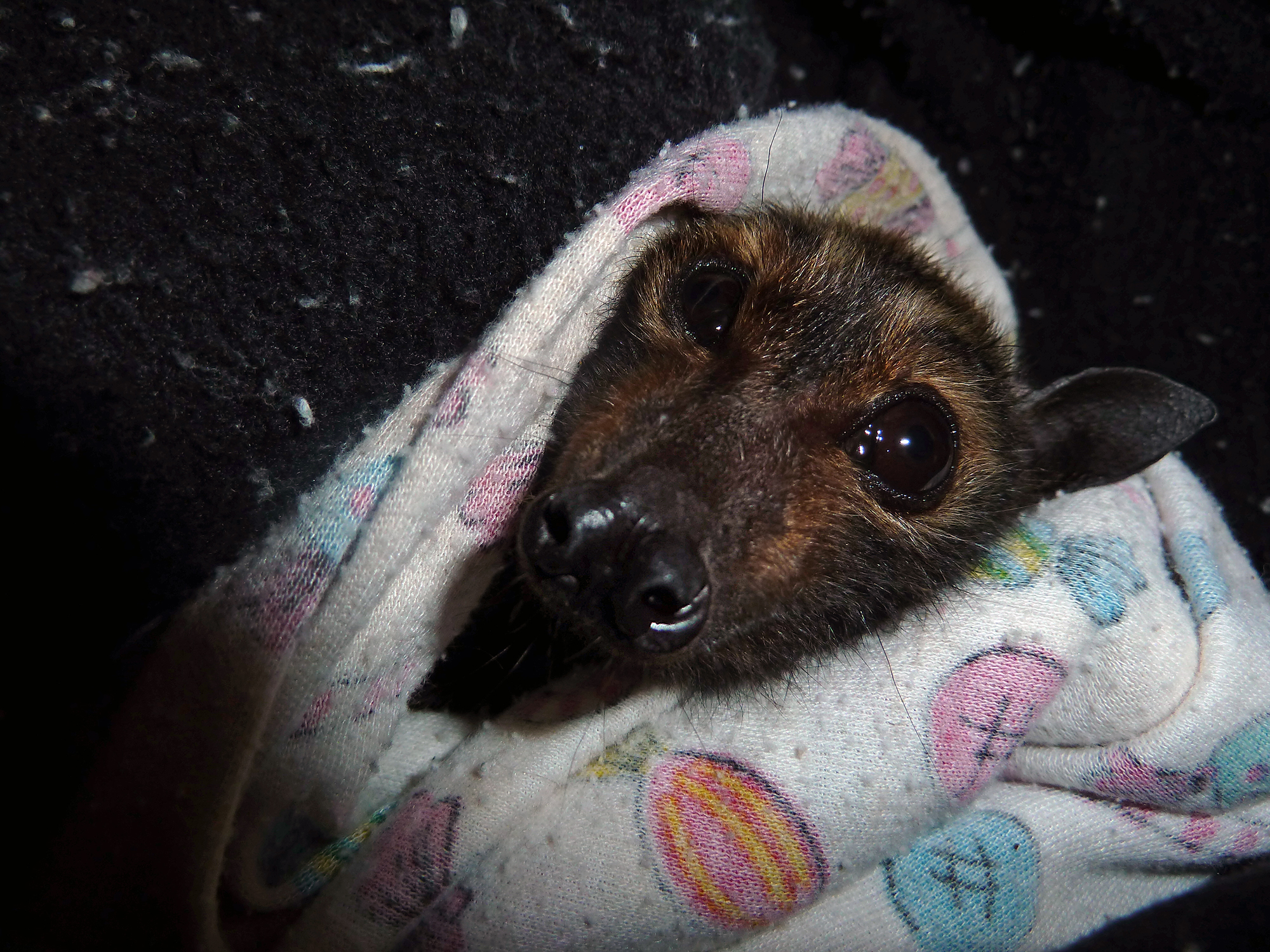 Baby Bat Bundle