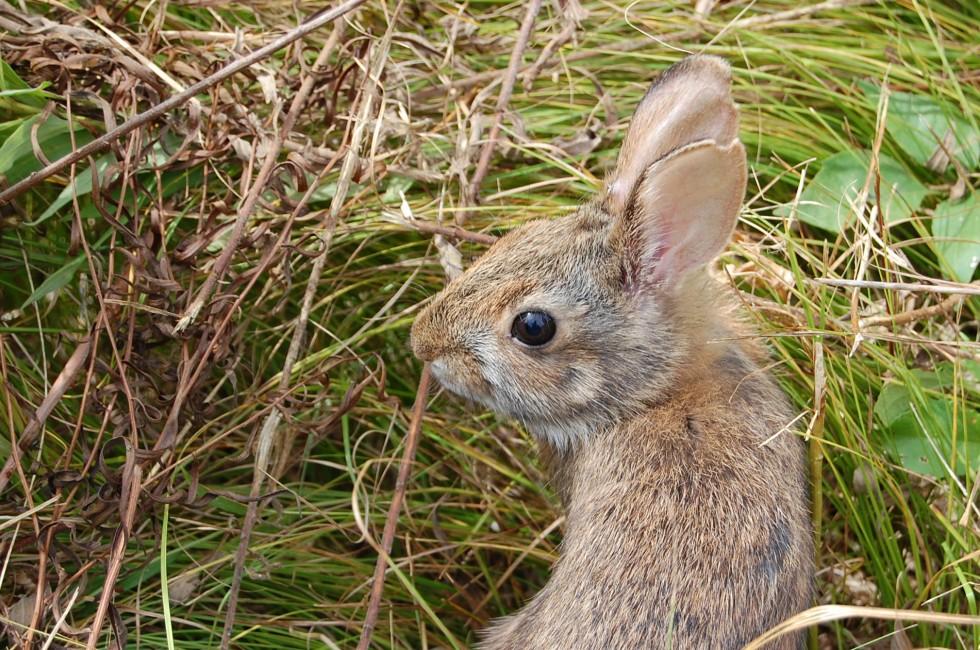 A Rare Rabbit