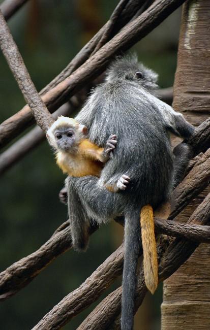 A Monkey That Changes Color