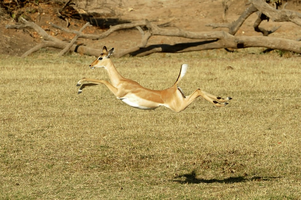A Leaping Lope