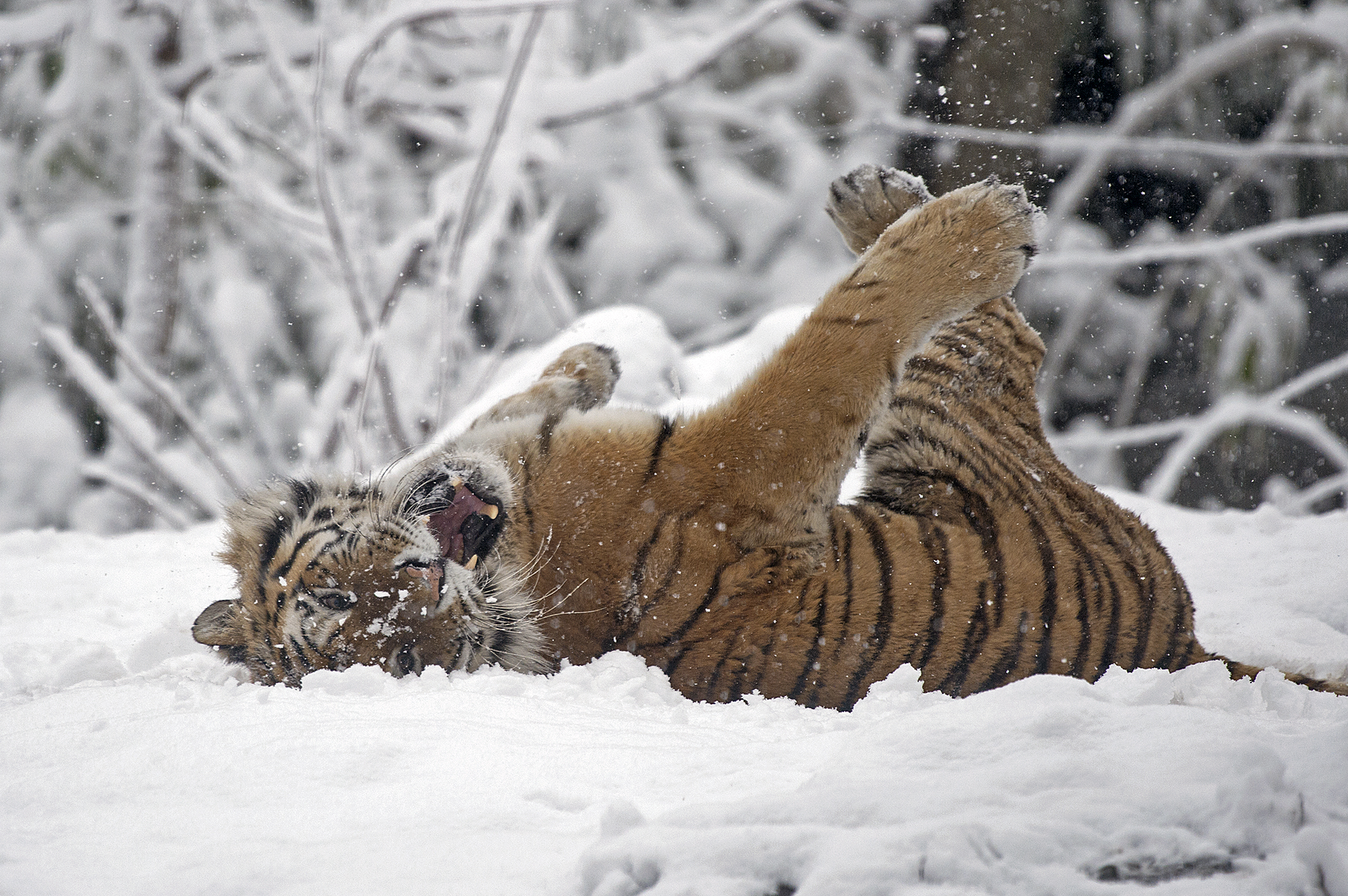 Snow Day for Tigers