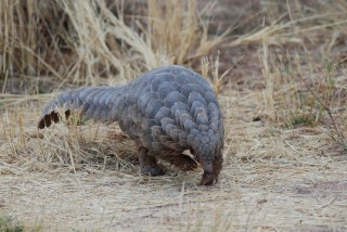 Eye to Eye with a Pangolin