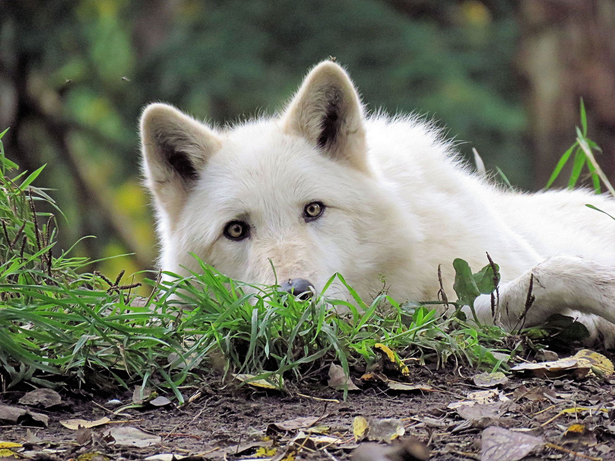 The Honor of Seeing Wolves