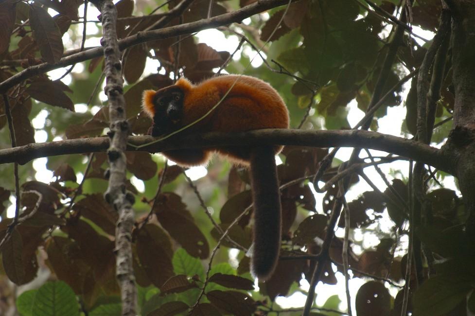 Vote for Lemurs