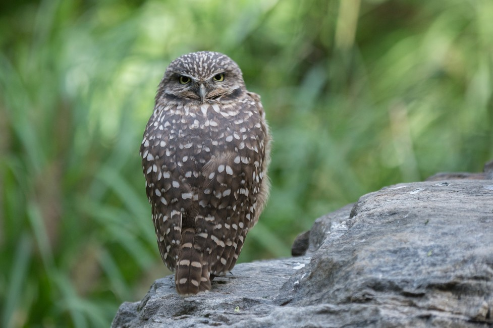 Howdy Owls