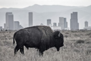 Bison: National Mammal of the United States