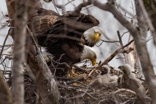 Bald Eagles: The Family Tree