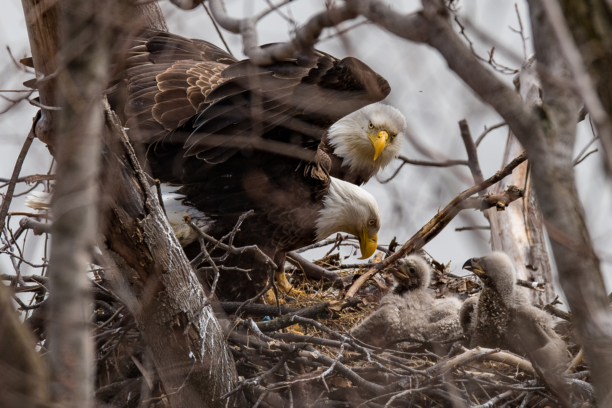 Bald Eagles: The Family Tree
