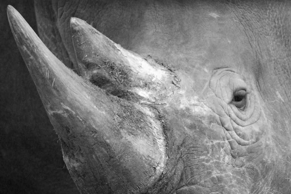 A Rhino's Horn