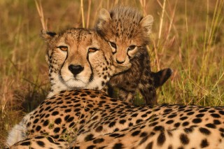 Cheetahs: A Mother's Day