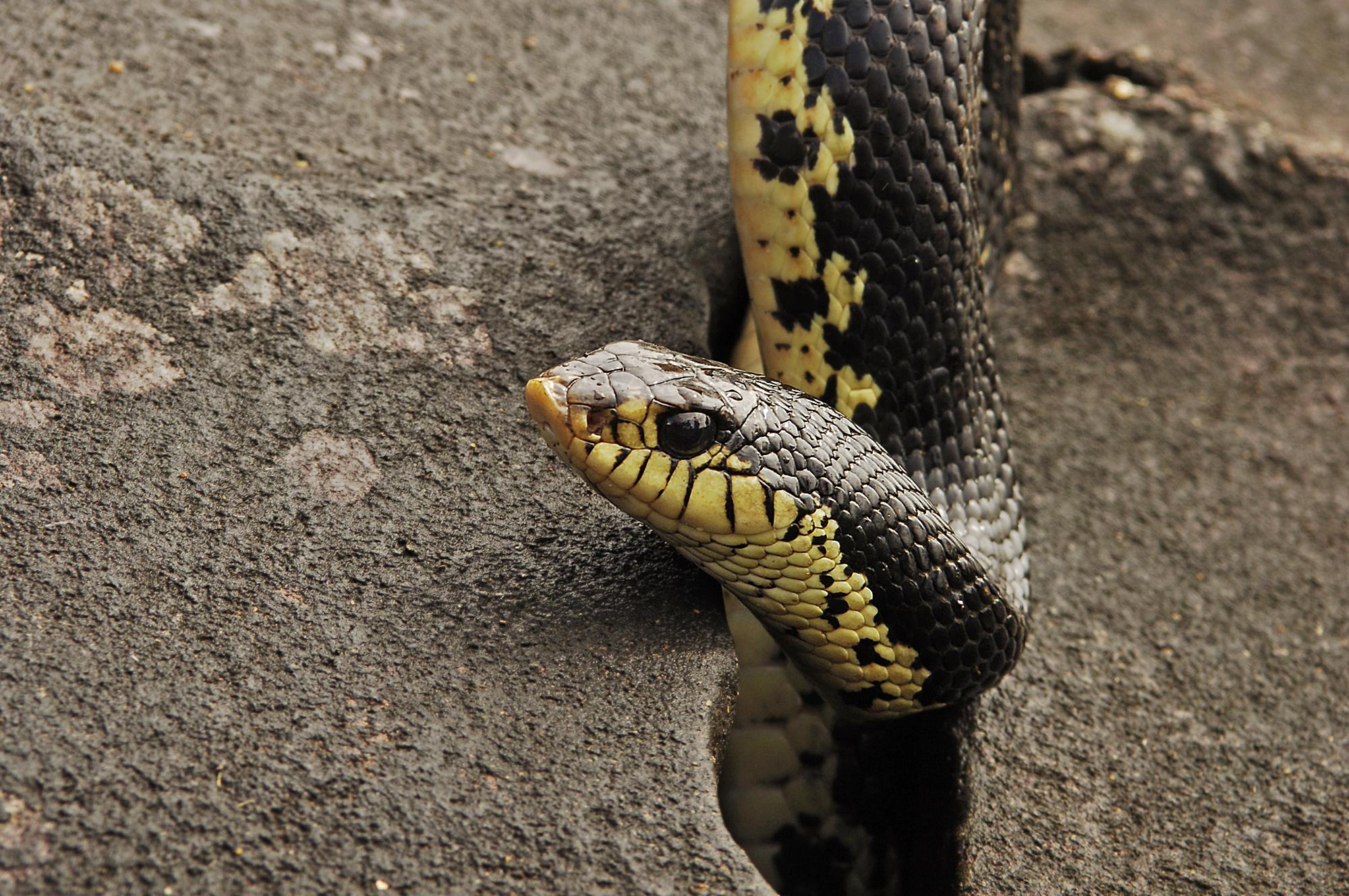 Mad About Hognose Snakes