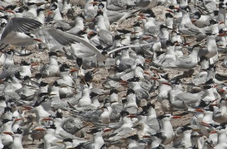 Terns at Tombo