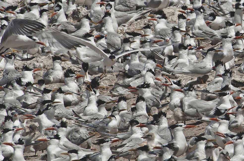 Terns at Tombo