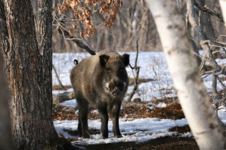 A Bear of a Boar