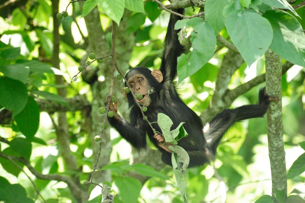 Great Apes of Budongo, Part 1