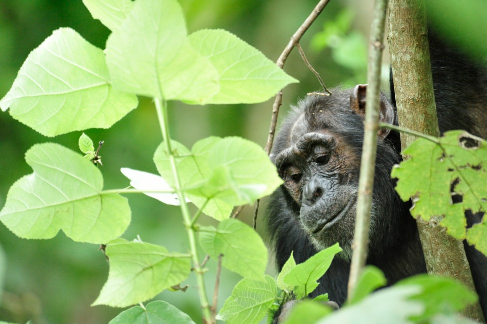Great Apes of Budongo, Part 2