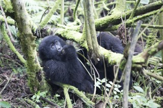 Gorillas of the Virunga Mountains
