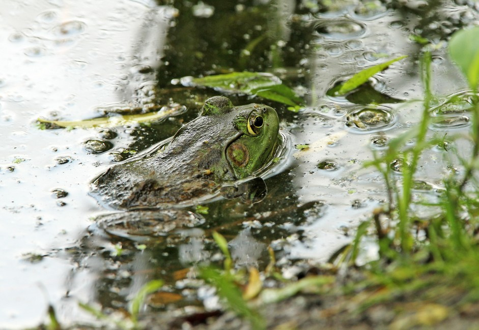 Bullfrog in the Wetland