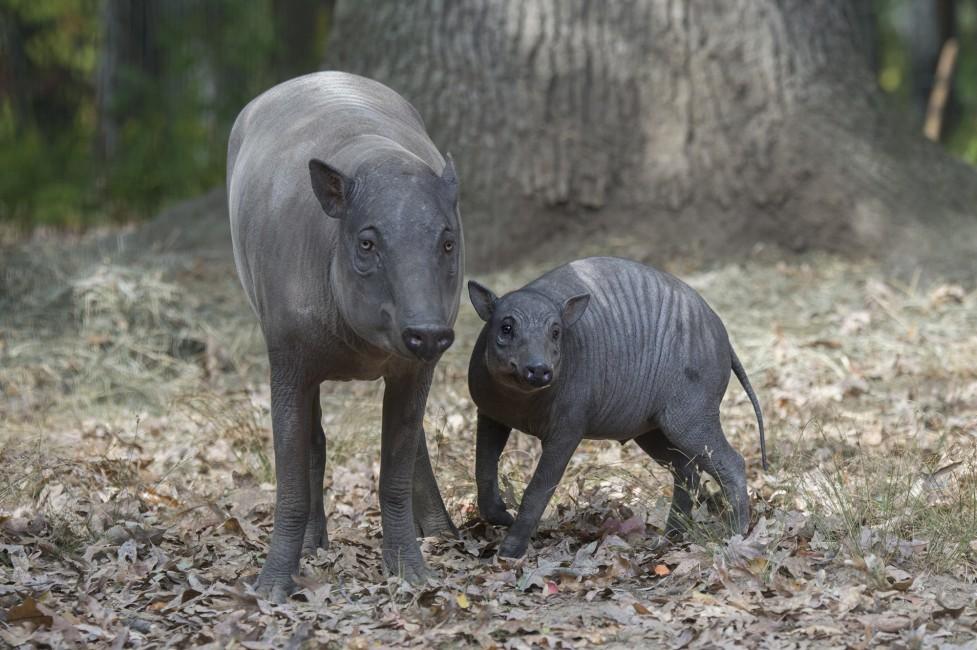 Babirusa: Extraordinary Pig