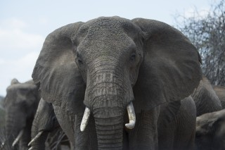 The Trade in Tusks