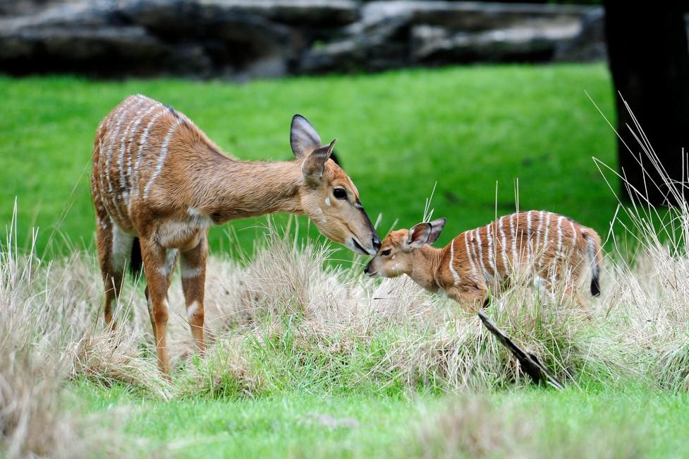 Nyala: An Elegant Antelope