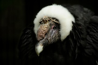 Condors: New World Vultures