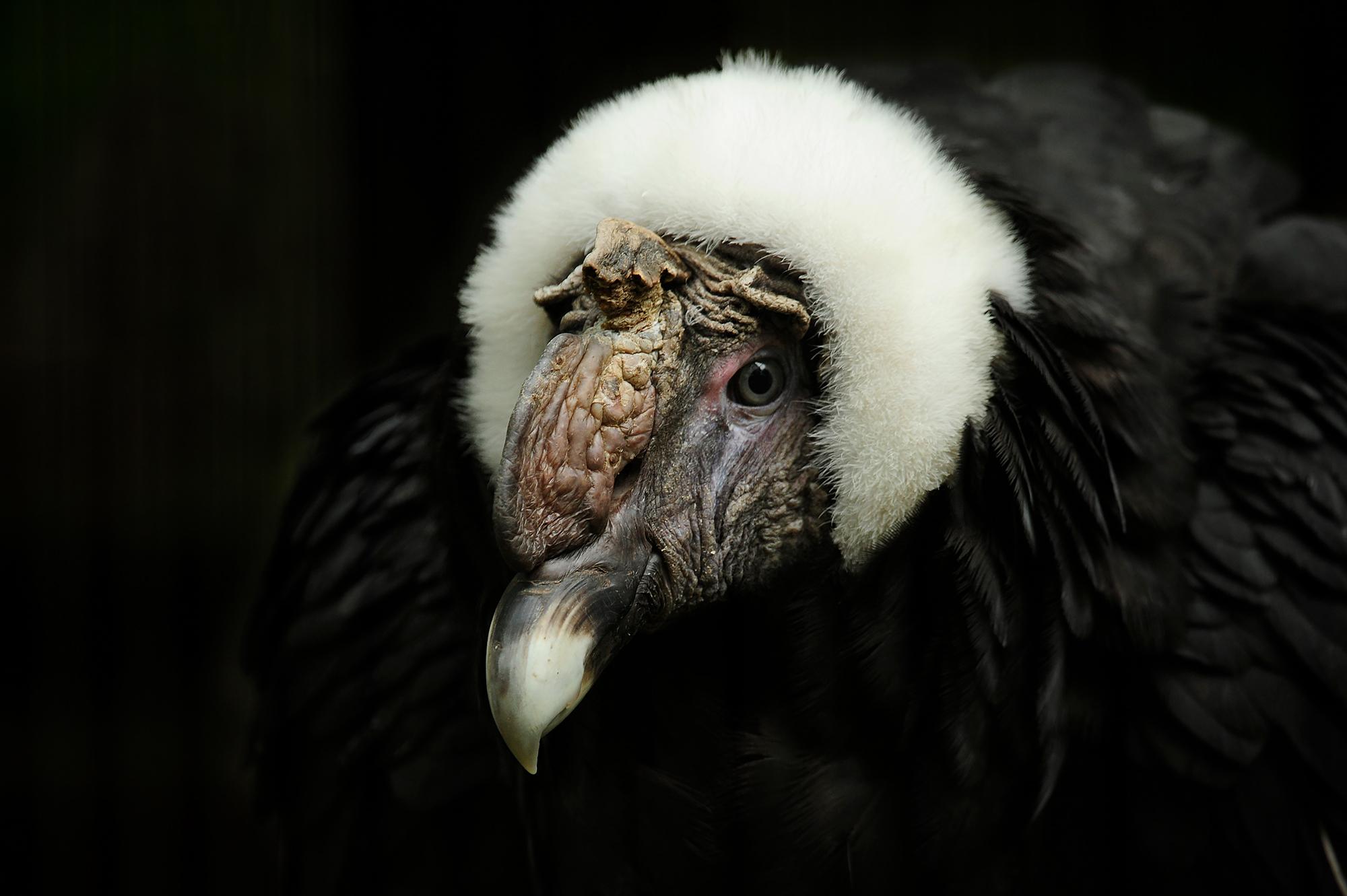 Condors: New World Vultures