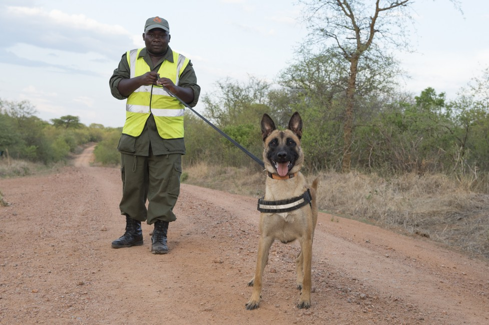 WCS Detection Dogs: First Ivory Bust