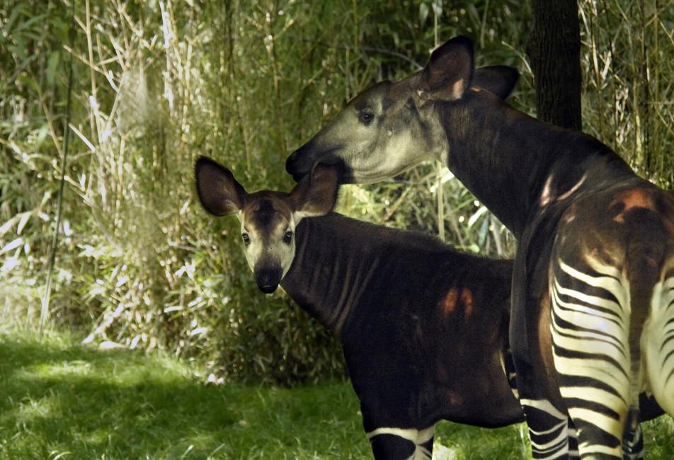 Okapi: Rare Rainforest Giraffe