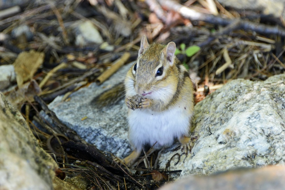 A Chipmunk Outside the Urban Jungle