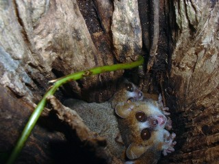 Mouse Lemur Sleepover