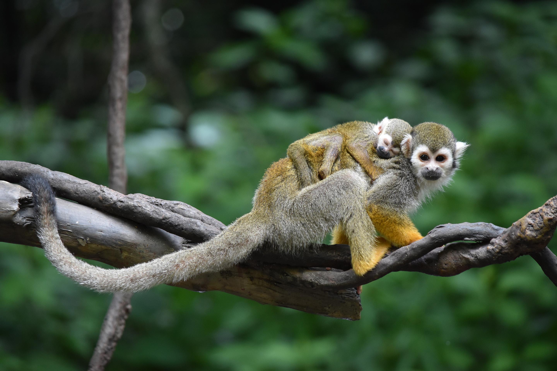 squirrel monkey surprise wild view