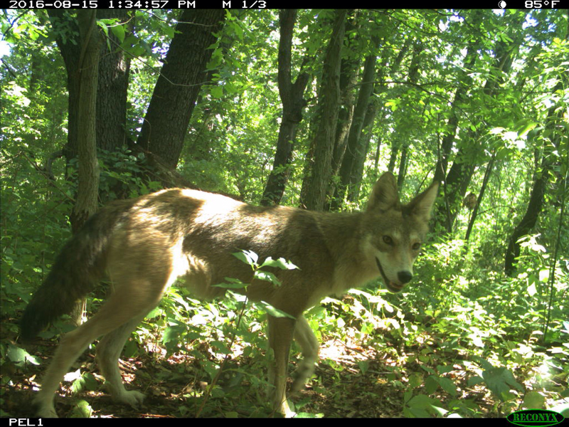 A Wily Coyote
