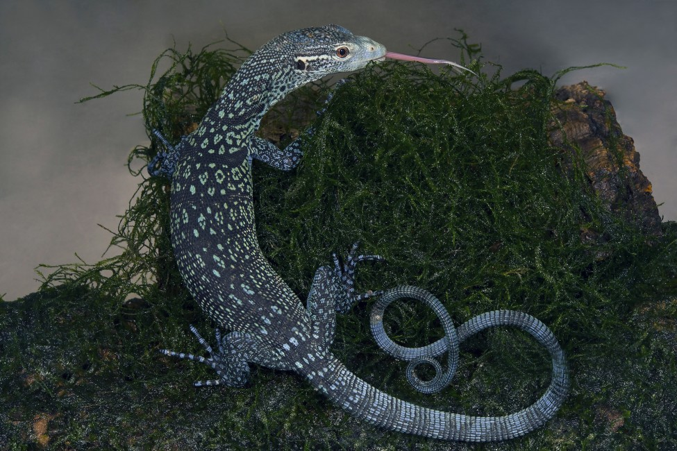 The Blue Dragons of Batanta