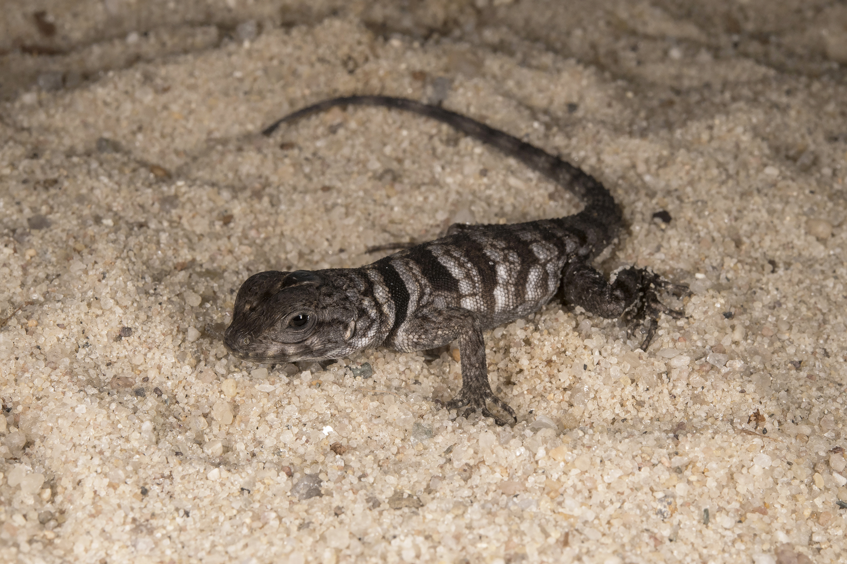 A Lizard from a Land Like No Other