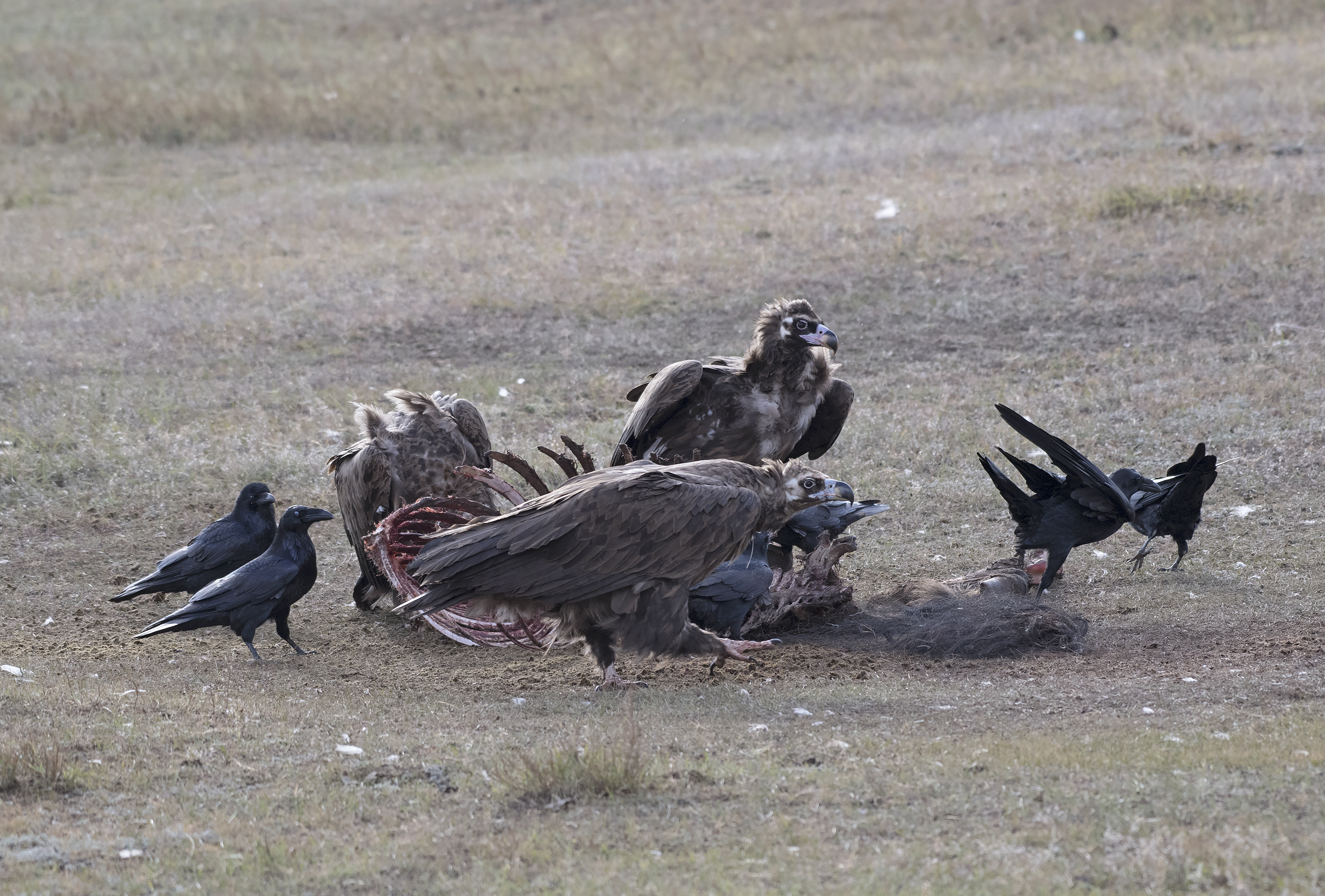 The Cinereous Vulture, A Mongolian Icon