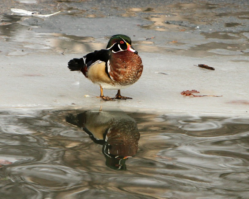 Reflecting on Waterfowl