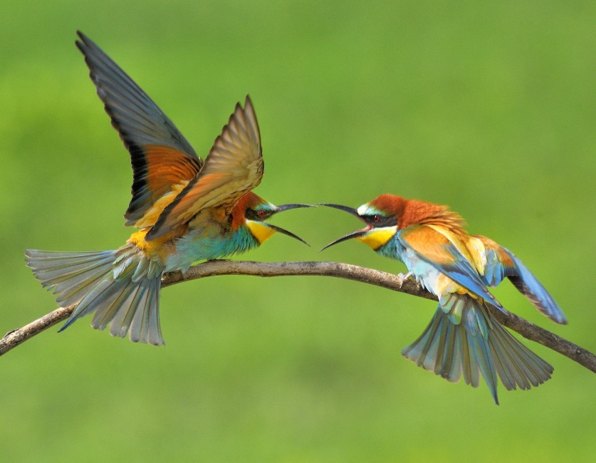 Beautiful Bee-eaters