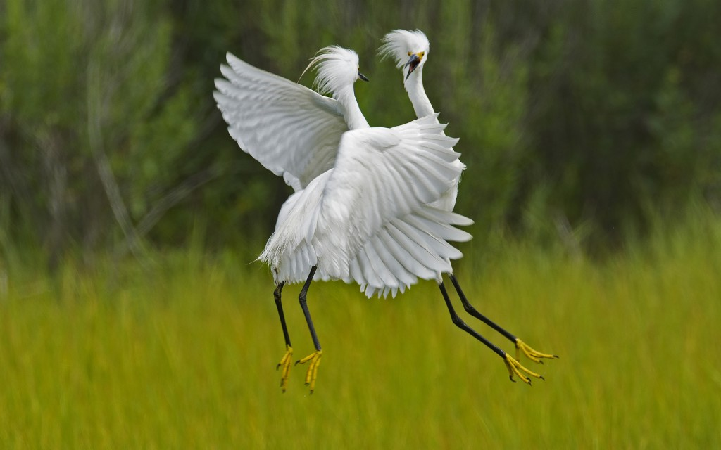 Egret Encounter