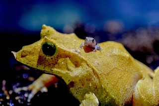 Great and Small: Leaf Frogs