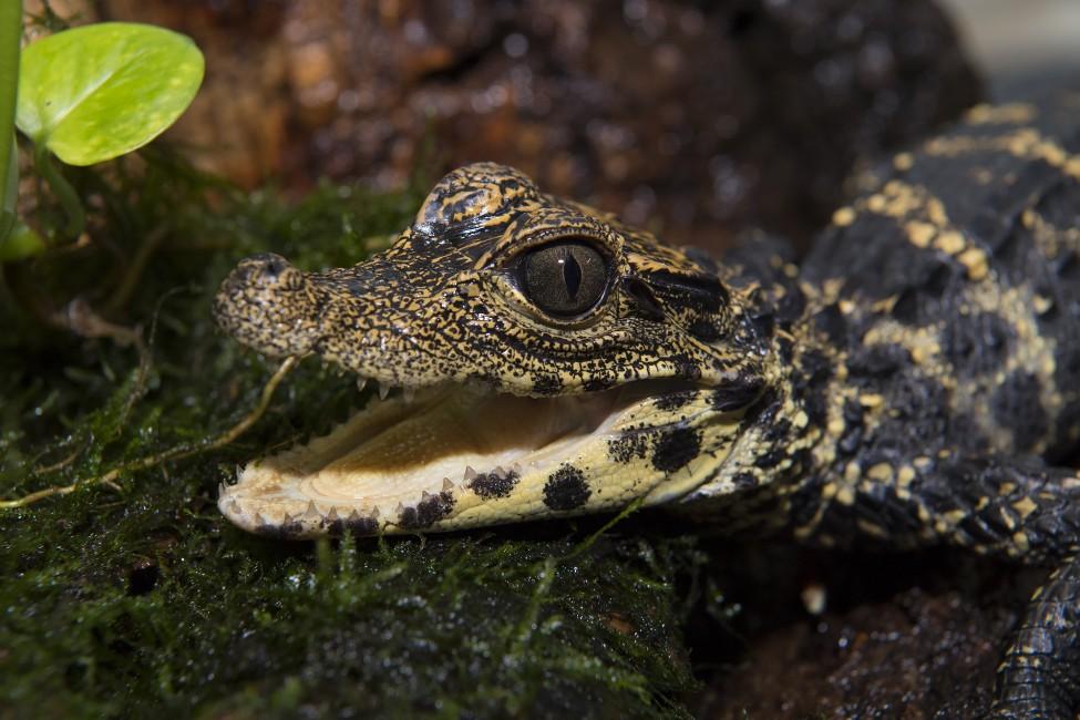 Dwarf…Crocodile?