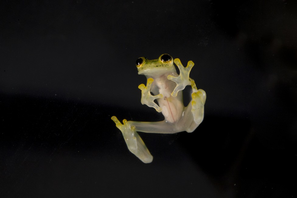 See-through Frogs