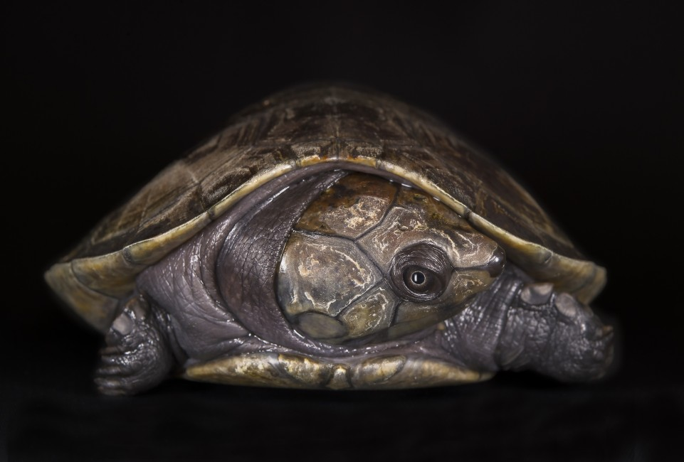 Tartaruga em Perigo (Turtle in Danger)