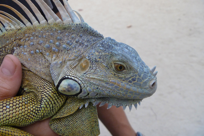 Sleeping Iguanas