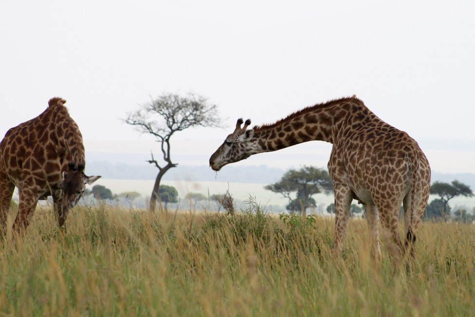 Stick Your Neck Out for Giraffe