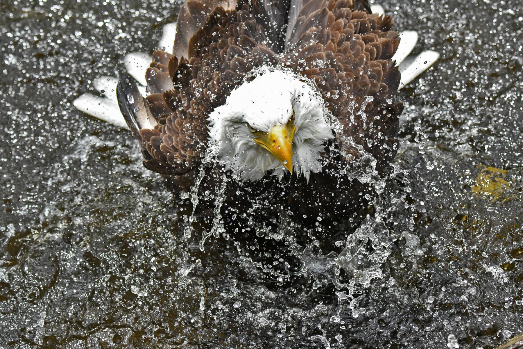 Bald Eagle Bath Time