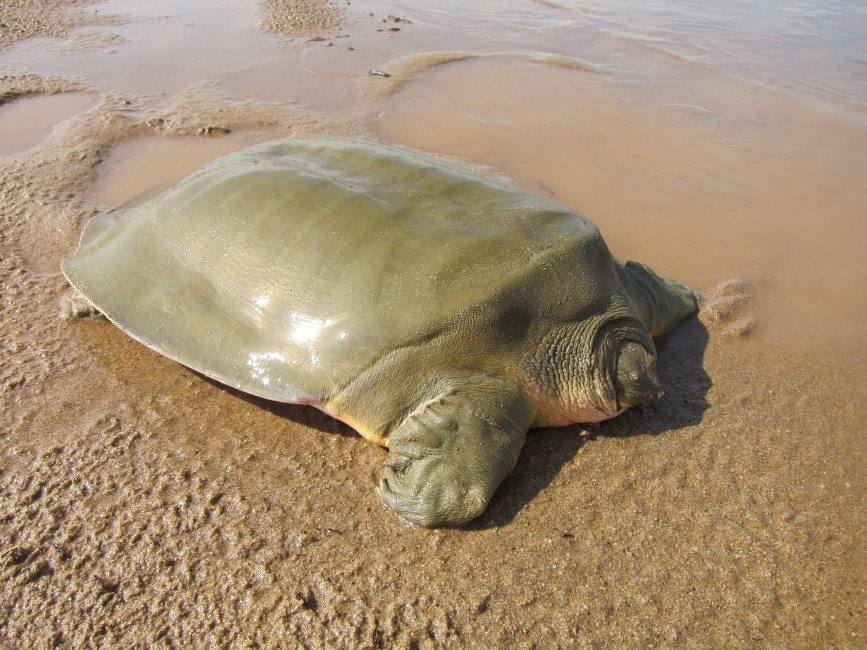 Hope for Frog-faced Softshell Turtles