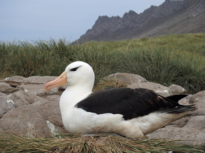 Elegant Albatross